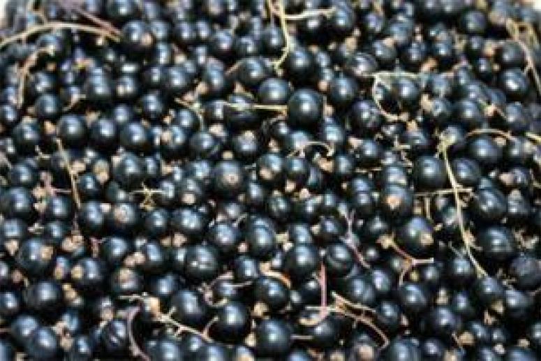 Названы полезные свойства черной смородины